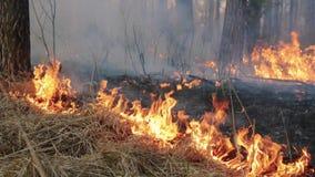 Большие лесной пожар и облака дыма в сосне стоят сток-видео