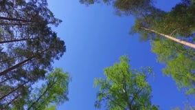Большие зеленые деревья, взгляд снизу Отснятый видеоматериал steadicam замедленного движения сток-видео