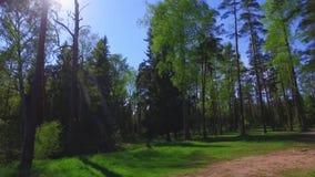 Большие зеленые деревья, взгляд снизу Отснятый видеоматериал steadicam замедленного движения акции видеоматериалы