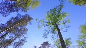 Большие зеленые деревья, взгляд снизу Отснятый видеоматериал steadicam замедленного движения видеоматериал
