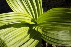 Большие зеленые листья ложного морозника в предыдущем весеннем времени, соединяются Стоковое Фото