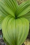 Большие зеленые листья ложного морозника в предыдущем весеннем времени, соединяются Стоковое фото RF