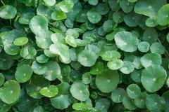 Большие зеленые листья, предпосылка Стоковые Фото