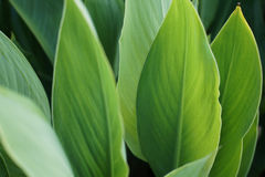Большие зеленые листья, предпосылка Стоковая Фотография RF