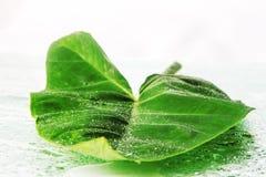 большие зеленые листья Стоковая Фотография