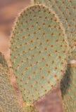 Большие зеленые лист кактуса Стоковое фото RF