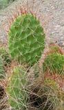 Большие иглы кактуса Стоковое Изображение RF