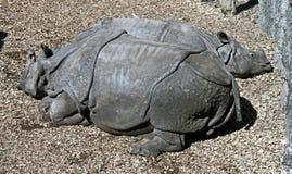 большой индийский rhinoceros 4 Стоковое Изображение RF