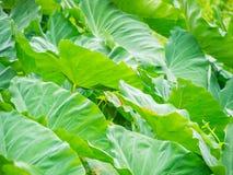Большие листья зеленого цвета в саде Стоковая Фотография RF