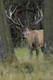 Большие и красивые красные олени во время оленей прокладывать в среду обитания природы в чехии Стоковое Фото