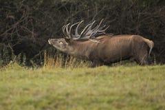 Большие и красивые красные олени во время оленей прокладывать в среду обитания природы в чехии Стоковая Фотография