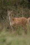 Большие и красивые красные олени во время оленей прокладывать в среду обитания природы в чехии Стоковые Фото