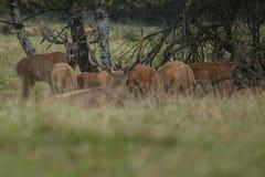 Большие и красивые красные олени во время оленей прокладывать в среду обитания природы в чехии Стоковая Фотография RF