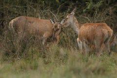 Большие и красивые красные олени во время оленей прокладывать в среду обитания природы в чехии Стоковое фото RF