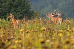 Большие и красивые красные олени во время оленей прокладывать в среду обитания природы в чехии Стоковое Изображение RF