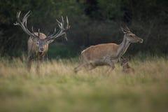 Большие и красивые красные олени во время оленей прокладывать в среду обитания природы в чехии Стоковое Изображение