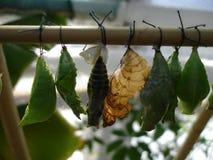 Большие коконы бабочек на бамбуковой ручке Стоковые Изображения RF