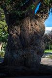 Большие корни дерева Стоковые Фото