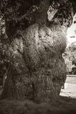 Большие корни дерева Стоковая Фотография