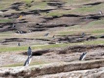 Большие колонии вложенности пингвина Magellanic, magellanicus spheniscus, острова зондов, Falkland Остров-Malvinas Стоковые Фото
