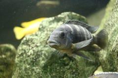 Большие красивые рыбы подводные в аквариуме Стоковые Фотографии RF