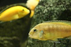 Большие красивые рыбы подводные в аквариуме Стоковые Изображения RF