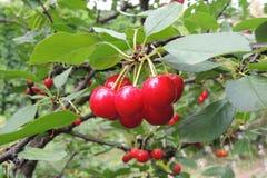 Большие красные вишни на дереве Стоковое Изображение RF