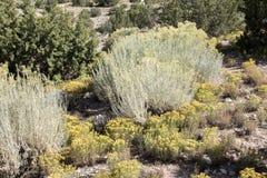 Большие кусты кактуса окруженные малыми желтыми заводами кактуса Стоковые Изображения
