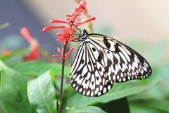 Большие нимфы бабочка и цветки дерева Стоковое фото RF