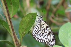 Большие нимфы бабочка и яичка дерева Стоковые Изображения