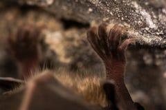 Большие ноги horseshoe летучей мыши (ferrumequinum Rhinolophus) Стоковая Фотография RF