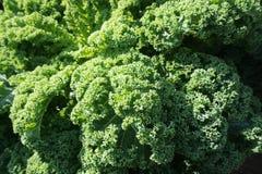 большие овощи головки зеленого цвета капусты Стоковые Изображения RF