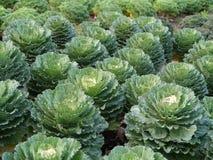 большие овощи головки зеленого цвета капусты стоковая фотография rf