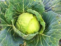 большие овощи головки зеленого цвета капусты Стоковая Фотография