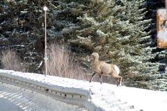 Большие овцы рожка с шоссе Стоковые Фотографии RF
