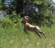 большие овцы рожочка Стоковая Фотография