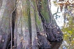 Большие отражения кипариса и воды Стоковая Фотография RF