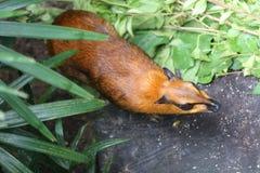 Большие олени мыши Стоковое Изображение RF