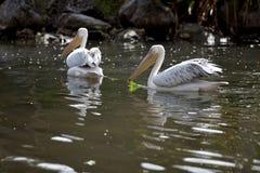 большие пеликаны белые Стоковые Изображения RF