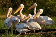 большие пеликаны белые стоковое изображение rf