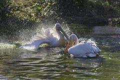 большие пеликаны белые стоковые фотографии rf