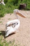 Большие пеликаны в зоопарке Стоковое Фото