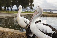 Большие пеликаны около воды Стоковые Изображения