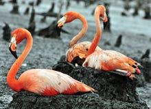 Большие птицы фламинго на гнезде Стоковое фото RF