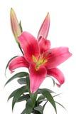 Большие розовые лилии Стоковое Изображение RF