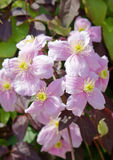 Большие розовые цветки Clematis Монтаны в саде Стоковое Изображение RF
