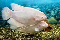 Большие рыбы в рыбной ловле осфронемовых аквариума Стоковые Изображения RF
