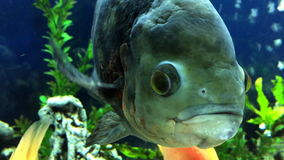 Большие рыбы в смотреть аквариума сток-видео