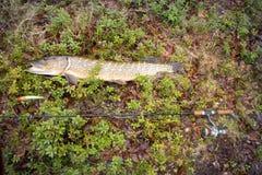 Большие рыбы щуки рыбной ловли трофея Стоковые Изображения RF