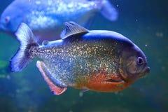 большие рыбы piranha Стоковое Изображение